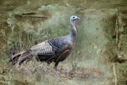 Piller Prints - Wild Turkey Print by Jan Piller