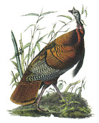 Audubon Painting Posters - Wild Turkey Poster by John James Audubon
