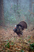 Portriat Photos - Wild turkey portriat by David Campione