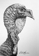Turkey Drawings Metal Prints - Wild Turkey Metal Print by Roy Kaelin