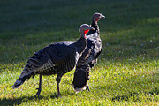 Wild Turkeys Print by Mike  Dawson