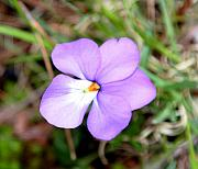Violet Photo Originals - Wild Violet by Kenna Westerman