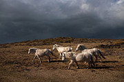 Wild Horse Prints - Wild Welsh Ponies Print by Gail Johnson