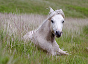 Sitting Photos - Wild Welsh Pony by Steve Hyde