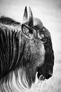 Monochrome Prints - Wildebeest Print by Adam Romanowicz