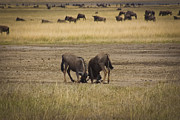 Travel - Tanzania - Wildebeest Fight On guard by Darcy Michaelchuk