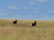Great Migration Prints - Wildebeest Migration Masai Mara Kenya Print by Joseph G Holland