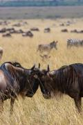 African Wildlife Art - Wildebeest  by Paco Feria