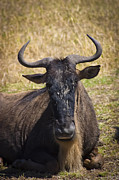 Travel - Tanzania - Wildebeest Taking a Break by Darcy Michaelchuk