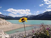 Wildflower At Abraham Lake Alberta Print by Patricia  Paterson