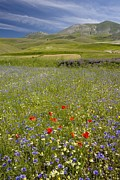 Cornfield Photos - Wildflower Fields by Bob Gibbons