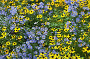 Aster  Framed Prints - Wildflower Meadow Framed Print by John Greim