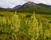 Lush Colors Posters - Wildflowers and Mountain Peaks Near Gothic Colorado Poster by Crystal Garner