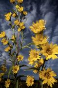 Yellow Prairie Photos - Wildflowers Blooming On The Kansas by Jim Richardson