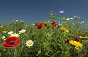 Flevoland Art - Wildflowers Growing In Rural Field by Mischa Keijser