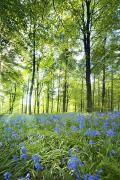 Blue Flowers Photos - Wildflowers In A Forest Of Trees by John Short