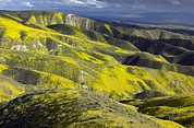 Carrizo Plain Prints - Wildflowers In California Print by Bob Gibbons