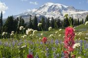 Mountain Scene Photo Prints - Wildflowers In Mount Rainier National Print by Dan Sherwood