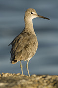 Adult Plumage Framed Prints - Willet  Santa Cruz California Framed Print by Sebastian Kennerknecht