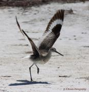 Watcher Originals - Willet Take-Off by Barbara Bowen