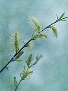 Spring Time Metal Prints - Willow Catkins Metal Print by Priska Wettstein