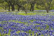 Bluebonnet Wildflowers Posters - Willow City Loop 4 Poster by Paul Huchton