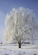 Willow Tree Posters - Willow In Ice Poster by Deborah Benoit