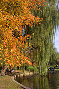 Boston Common Prints - Willow in the Garden Print by Joann Vitali