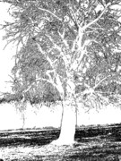 Beach Photograph Drawings - Willow Of The Field by Debra     Vatalaro