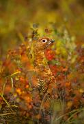 Ptarmigan Prints - Willow Ptarmigan In Fall Foliage Print by Michael S. Quinton