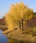 Yellow Leaves Framed Prints - Willow Trees By The Lake Framed Print by Elvira Butler