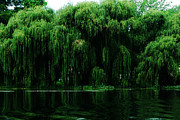 Willow Tree Posters - Willows Weeping Poster by Simone Hester
