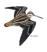 Kalen Malueg Drawings Posters - Wilsons Snipe in flight Poster by Kalen Malueg