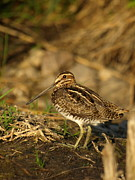 Woodcock Photo Acrylic Prints - Wilsons Snipe Acrylic Print by Melissa Peterson