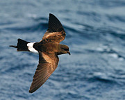 Sea Bird Photos - Wilsons Storm-Petrel by Tony Beck