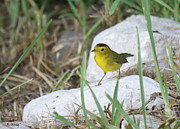 Wildlife Genre Prints - Wilsons Warbler By The Stream Print by Roena King