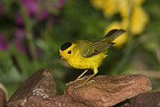 Warbler Photos - Wilsons Warbler Wilsonia Pusilla Male by Tom Vezo