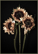 Trio Photos - Wilted Sunflowers by Steve Zimic