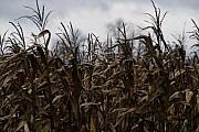 Cornfield Photo Metal Prints - Wind Blown Metal Print by Linda Knorr Shafer