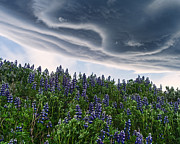 Lupins Prints - Wind-blown Lupins and Crazy Clouds Print by Royce Howland