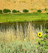 Plant Greeting Cards Posters - Wind River Sunflower Poster by Steven Ainsworth