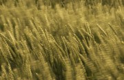 Blown Framed Prints - Windblown Wheat Framed Print by Meirion Matthias
