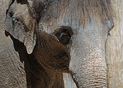 Elephant Photos - Windows to the Soul by Lisa Holmgreen