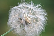 Dandelion Photos Framed Prints - Windswept Framed Print by Lisa  DiFruscio