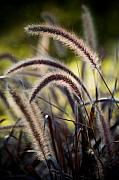 Violet Photo Originals - Windy Grass by Chad Davis