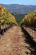 Wine Country Prints - Wine Country Print by Francine Gourguechon
