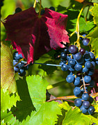 Vinegar Digital Art Prints - Wine Grapes Print by Brian Lambert