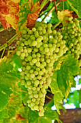 Wine Vineyard Photos - Wine Grapes in California by Paul Topp