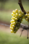 Leda Photography Metal Prints - Wine Grapes Metal Print by Leslie Leda