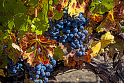 Grapevine Leaf Photo Framed Prints - Wine grapes Napa Valley Framed Print by Garry Gay